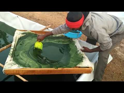 Spirulina cultivation satish  hyderabad 9296601789