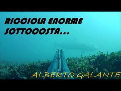 RICCIOLA ENORME SOTTOCOSTA BARESE...BY ALBERTO GALANTE