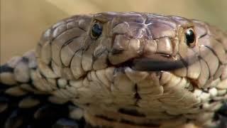 Afrique : à la vie, à la mort   Extrait : Cobra vs Mangouste