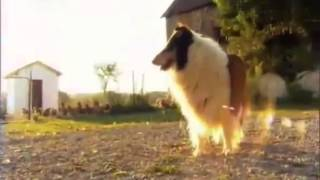 О породе собак - Колли