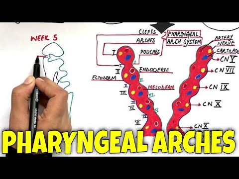 Pharyngeal Arches And Its Derivatives