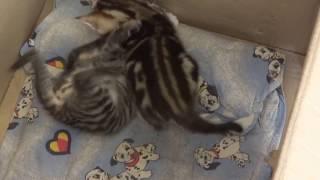 Обалденный окрас котенка.