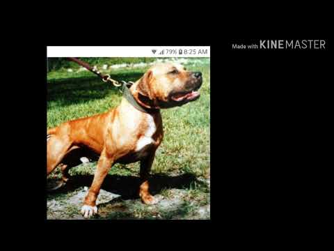 Talking about American pitbull terrier