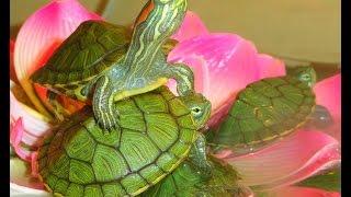 #Аквариум #для #начинающих #Красноухая #черепаха #Остров #черепах