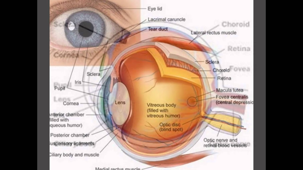 Diagram of the eye youtube diagram of the eye pooptronica Choice Image