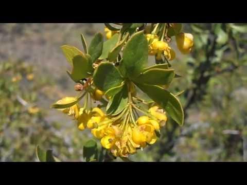 Барбарис обыкновенный - лечебные свойства, рецепты, применение