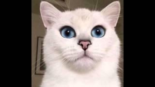 Кошки с голубым цветом глаз )