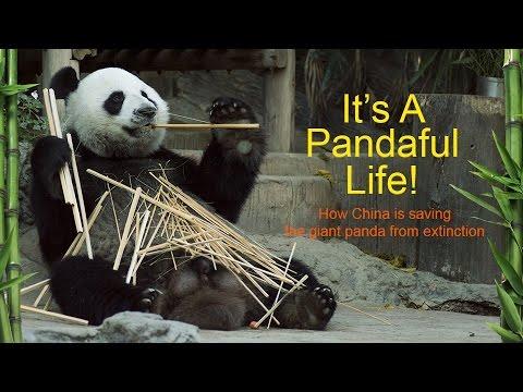It's a Pandaful Life! (RT Documentary)