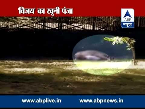 ABP LIVE: 'Vijay', the white tiger turns man-eater