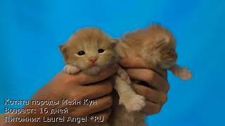 Котята мейн-кун - 16 дней.