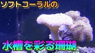 【アクアリウム/Aquarium】#14 3種類のソフトコーラルの珊瑚