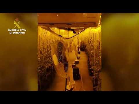 Desmantelan una plantación de marihuana con un millar de plantas en Cabezón