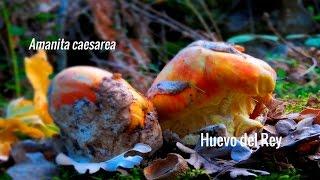 Las setas que conocemos: Amanita Caesarea