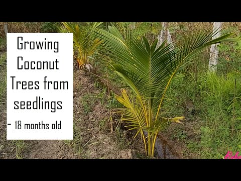 Growing Coconut trees in the farm - after 18 months / Coconut plantation / Organic Coconut farming