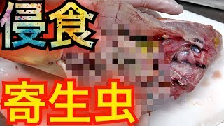 1万円の高級魚から寄生虫が大量に出てきた【同時上映トラ27話】 thumbnail