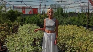 видео Дерен белый: правильная посадка, особенности ухода и формирование кустарника