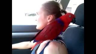 eclectus- gadajaca papuga Lora wielka / wycieczka z papugami