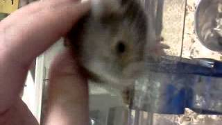 Hamster with Down Syndrome?!