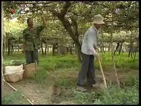 Chuyện làm giàu của nhà nông - Làm giàu từ trồng táo