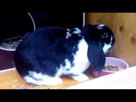 Крольчиха не кормит крольчат. Что делать? Кролиководство.