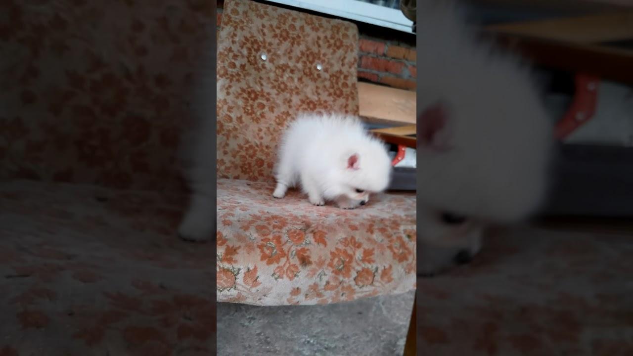 Померанский шпиц мишка белый крем Краснодар - YouTube