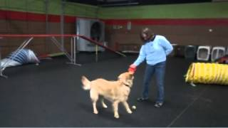 Goldendoodle Training At The Dog Knowledge Charlotte Nc