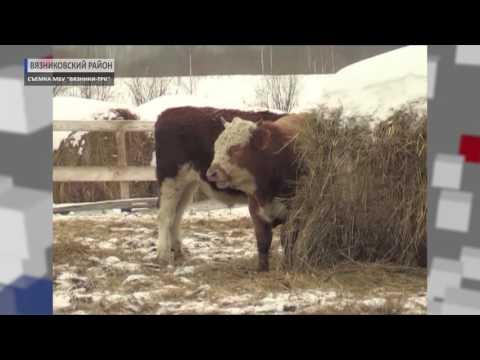 2017 03 29 HD Элитную говядину производят в Вязниках