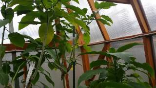 Spider Mites Vs. Lady Bugs Part 2