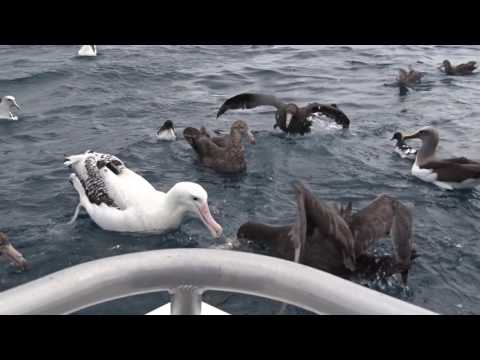 Pelagic NZ birds - Albatross