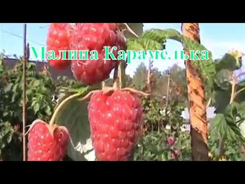 Продажа саженцев малины для подмосковья у производителя оптом и в. Все; поздний; ремонтантный; средне-поздний; средне-ранний; средний.