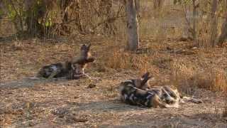 Гангстеры дикой природы - Дикие собаки