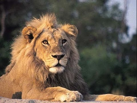 Lions Of The Kruger National Park Youtube