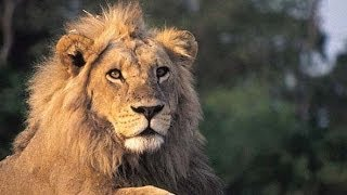 Lions of the Kruger National Park