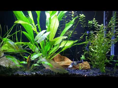 Growth And Care For An AMAZON SWORD Beginner Plant And Propagating