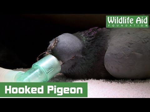Pigeon impaled by illegal hook