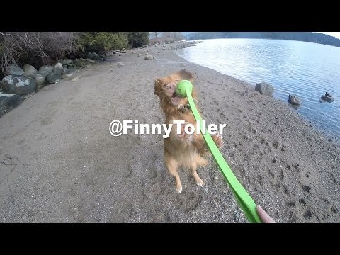Nova Scotia Duck Tolling Retriever - Jumping Ginger
