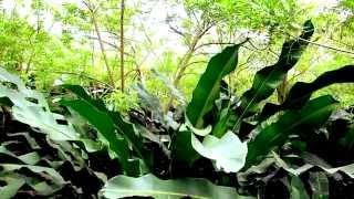 IBEX BIONOMICS Caso de éxito contra Ralstonia Solanacearum(moko) en heliconias  y tabaco