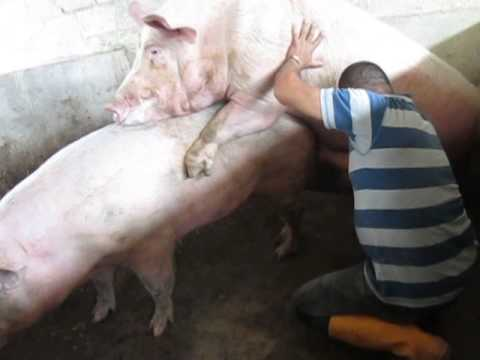 video cerdos