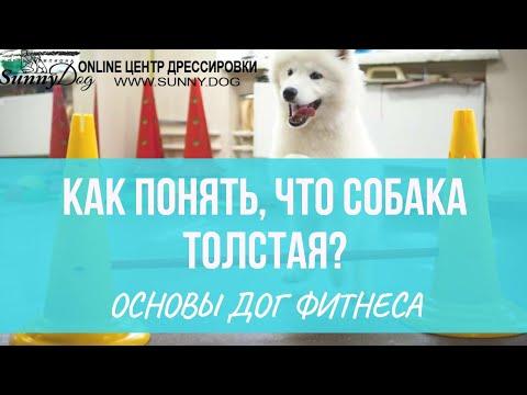 Дог фитнес. Ожирение у собаки. Как определить лишний вес и как похудеть собаке?