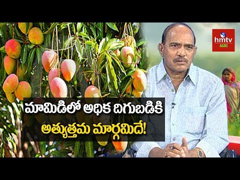 How To Get High Yield in Mango Cultivation | Natural Farming | hmtv Agri