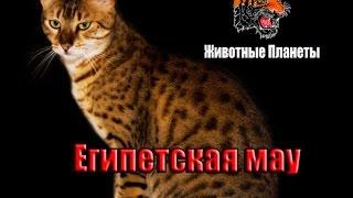 Египетская мау — короткошёрстная, среднего размера порода кошек с пятнистым окрасом.