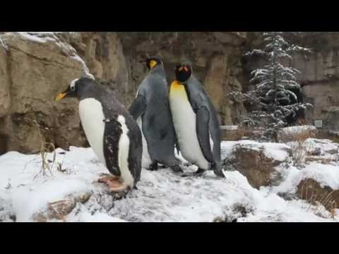 Penguins play in the snow at St. Louis Zoo