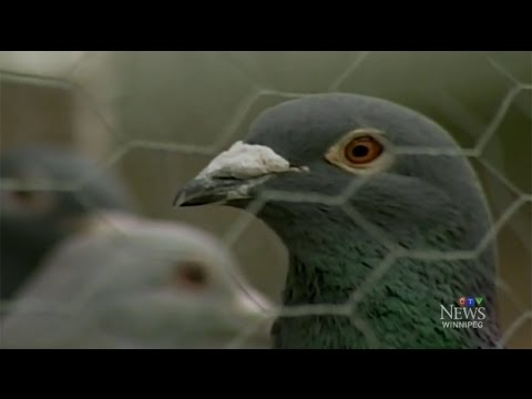 Winnipeg man fights to house racing pigeons in his backyard