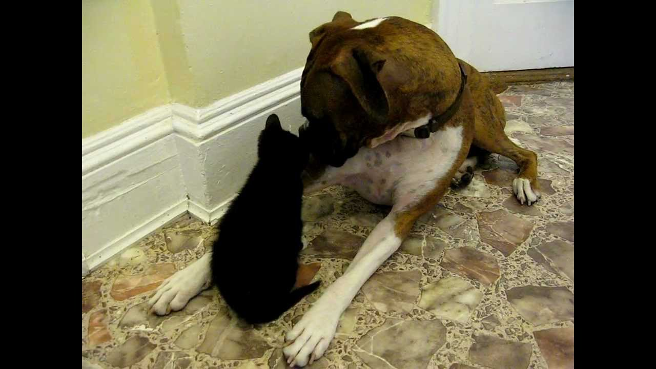 Boxer Meets Kitty Boy Too Cute Youtube