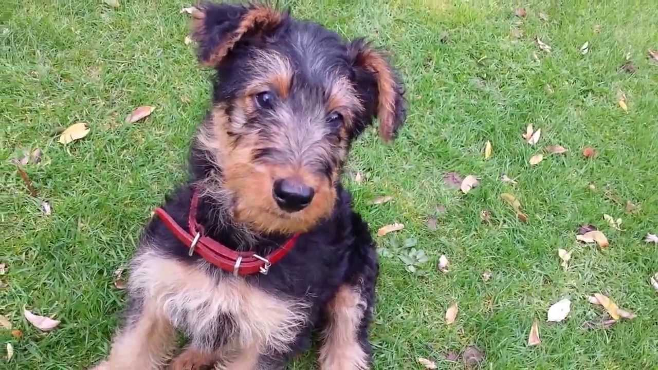 airedale terrier puppy tess 9 weeks old youtube. Black Bedroom Furniture Sets. Home Design Ideas