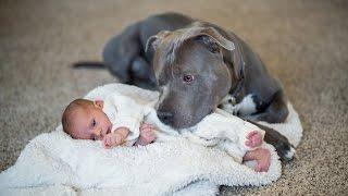 Como educar al cachorro american bully o pitbull perfecto, EVITAR AGRESIVIDAD