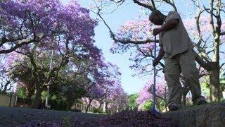 Pretoria's Jacaranda trees are an 'alien' problem
