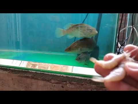 Memberi Makan Ikan Predator .. Kerapu Lumpur Dan Baramundi... Seru...