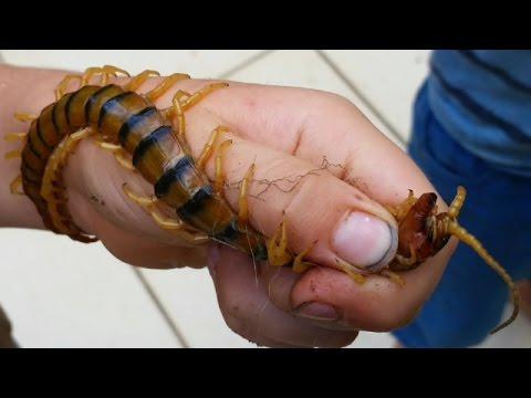 Holding 17CM GIANT VENOMOUS CENTIPEDE... BAREHANDED! Australia's Largest Centipede