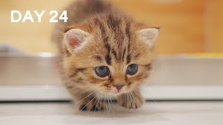 Day 24 - Baby Munchkin Kittens Tango Dance | Day 1 to Day 100 Kittens Grow Up Vlog
